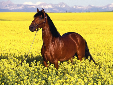 HDQ-Brown Horse Running 2016 HD Widescreen
