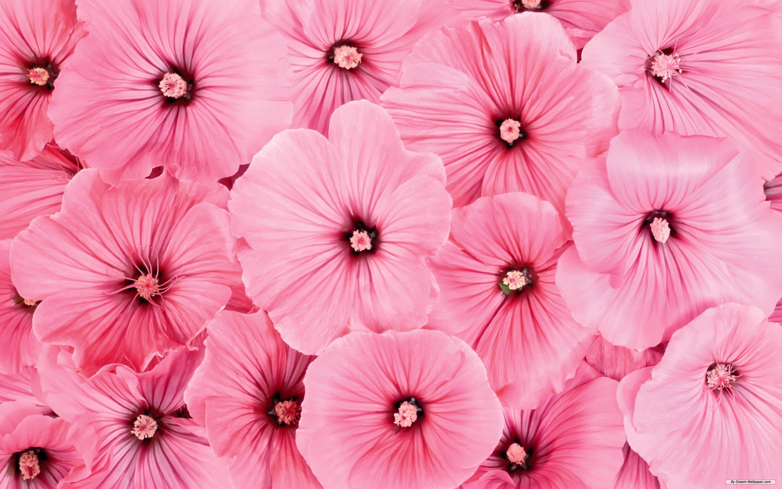 Pink Flowers Backgrounds (PC, Mobile, Gadgets) Compatible | 2560x1600 px