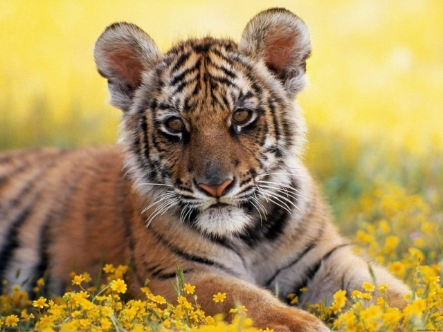 Roselle Colmenero: Top HD Baby Tiger Wallpapers, HDQ