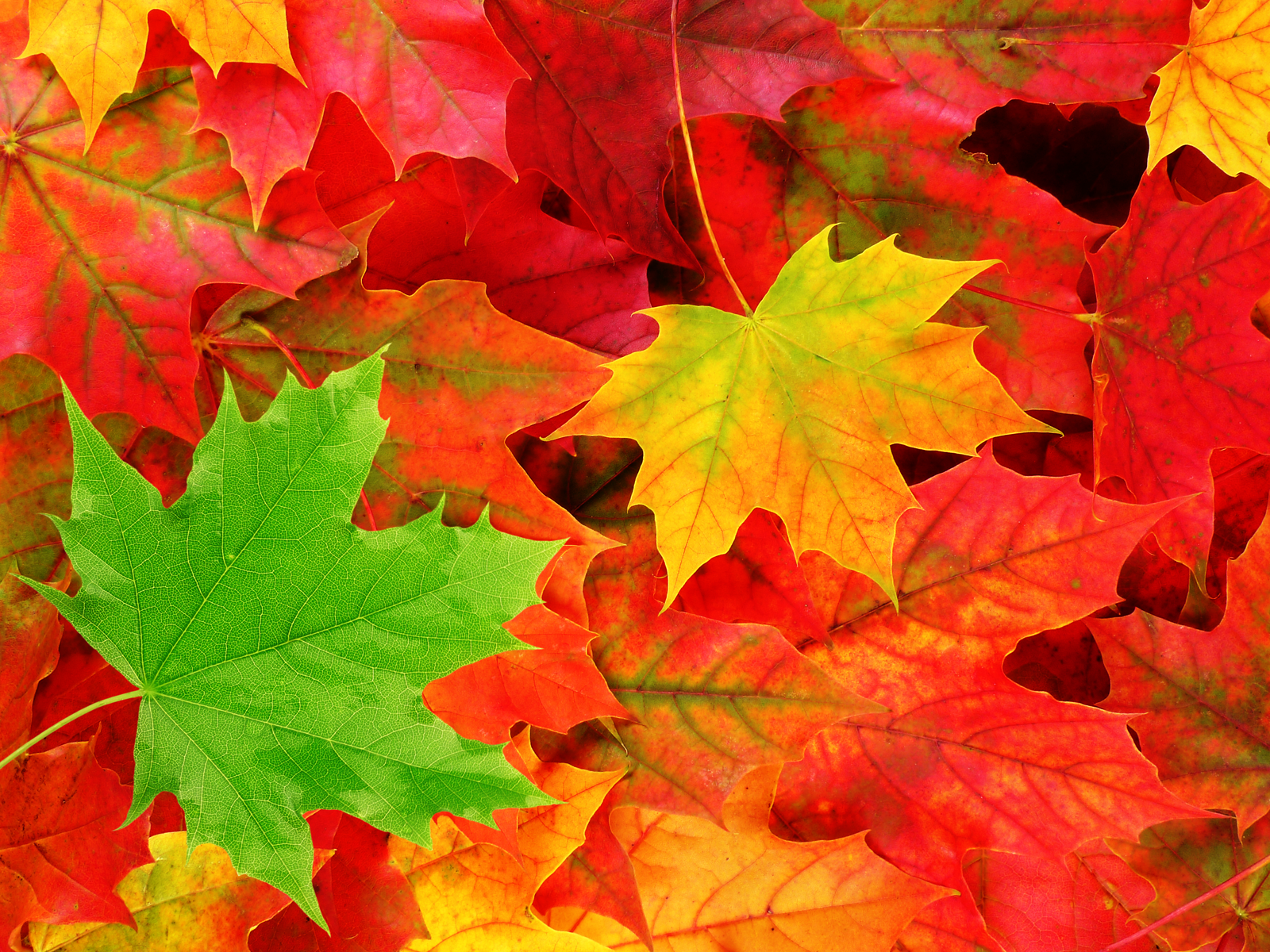 HD Autumn Leaves Wallpaper For Background, Alleen Lindamood 67