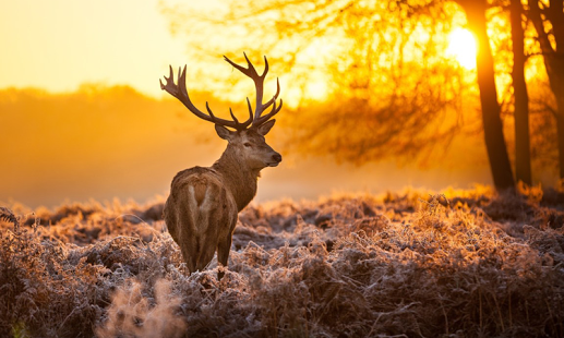 Free Download Deer Wallpapers, .GRI28